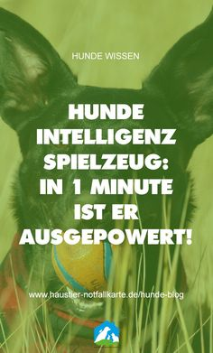 Dog intelligence toys: how you can quickly and easily power out your four-legged friend in less than 1 minute! Yorkie, Chihuahua, Teach Dog Tricks, Power Out, Mini Dogs, Rhodesian Ridgeback, Dog Hacks, Getting Bored, Four Legged