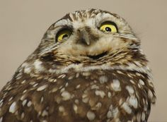Image result for Burrowing Owl Burrowing Owl, Bird, Animals, Image, Funny Stuff, Photos, Birds, Funny Things, Animales