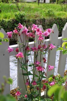 Les ancolies du jardin, que je laisse se ressemer à volonté! Notre jardin secret...