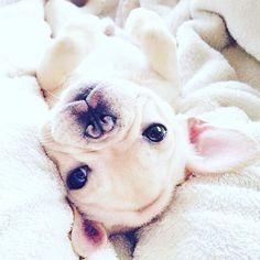 Adorable puppy. #instagram #puppy #animals #dog #frenchbulldog #frenchbulldogs #frenchie #frenchbulldogpuppy