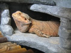 funny bearded dragon pictures | Grumpy Bearded Dragon Cooper by SGrafen on deviantART