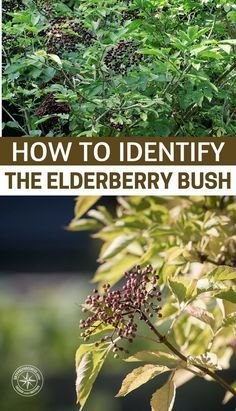 How to Identify the Elderberry Bush - This article will add one of those common wild edibles to your repertoire. While the elderberry is not one of the most delicious of the wild edibles out there it can really be a game changer in survival. Healing Herbs, Medicinal Plants, Poisonous Plants, Organic Gardening, Gardening Tips, Indoor Gardening, Elderberry Plant, Elderberry Syrup, Gardens