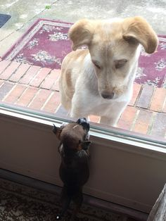 My friend's mom rescued this little guy from a box in a parking lot. This is him trying to meet his new best friend for the first time.