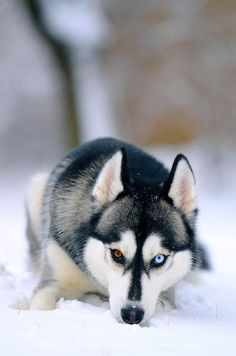 Siberian Husky with gorgeous eyes