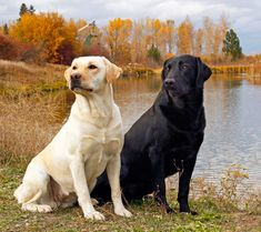 Labrador's...my favorite doggies. They look just like my Sammy and Brandi
