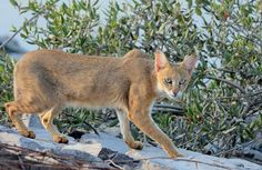 Exotic Cat Breeds, Exotic Cats, Wild Life, Chausie Cat, Rusty Spotted Cat, Small Wild Cats, Big Cats, Black Footed Cat, Wild Cat Species