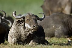 Buffalo in Ishasha sector in Queen Elizabeth National Park, Uganda. We came across 500 of them.