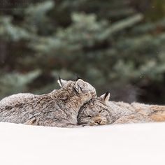 A wild lynx mother and her kitten.