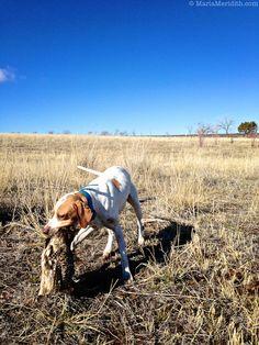 Pheasant Hunt in Southwest Colorado | Upland Bird Hunting | FamilyFreshCooking.com