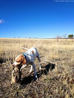 Pheasant Hunt in Southwest Colorado | Upland Bird Hunting | FamilyFreshCooking.com