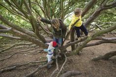 Recently chosen as the UK's best tree for climbing - the Nootka Cyprus tree at Wallington