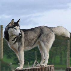 Les beaux Husky de Sibérie de Of watson Lake c'est sur : http://www.eleveurs-pedigree.com/fr/chiens/org/821/of-watson-lake