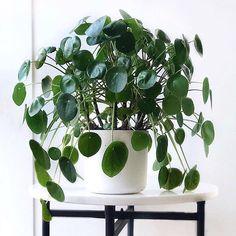 pilea peperomioides houseplants indoor plants plants decor home decor interior style plant corner nordic style scandinav