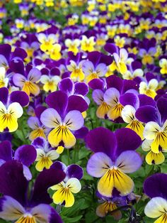 Violas...one of the happiest, sweetest flowers...a little cousin of the pansy.  Good for containers. Annuals