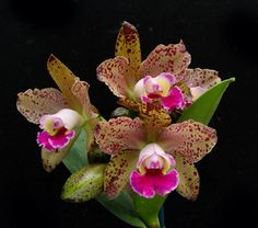 This hybrid was originally named in 1991 and is the result of the cross between Blc. Description from orchidweb.com. I searched for this on bing.com/images