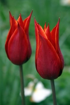 Red Flame Tulips