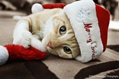 tabby cat christmas - Google Search