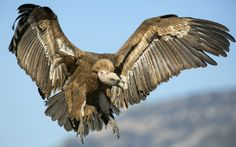 A Griffon vulture comes in to land in the Sierra de Guara, Huesca, Aragon, Spain. The vulture population in Spain has plummeted since the in...