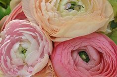 If you want plenty of color in your garden and an abundance of cut flowers for your home, ranunculus may be the flower you need in your garden