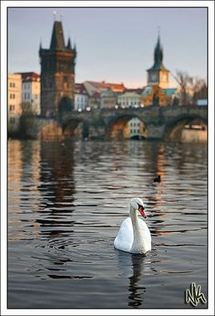 Swan Style and Grace, Prague, Czech