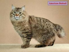 Similar to wild cats, the American Bobtail cat has a unique and wild appearance but they are extremely intelligent and loving cat breeds. Types Of Cats Breeds, Cat Breeds, Rare Cats, Cats And Kittens, Gato Bobtail, American Bobtail Cat, American Wirehair, Kitty Cats, Pets