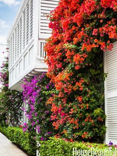 My life was changed as a child when I visited Palm beach, love love love ....palm beach bouganvilla | Bougainvillea surrounds the balcony of the Bermuda-style house. The ...