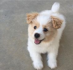 Pomapoo Pomeranian/miniature poodle mix.                                                                                                                                                                                 More