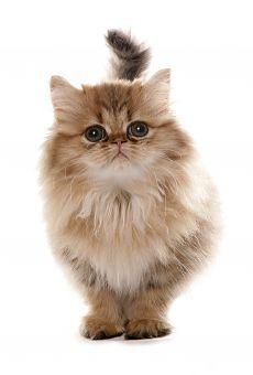 Persian golden Kitten