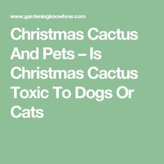 Christmas Cactus And Pets – Is Christmas Cactus Toxic To Dogs Or Cats