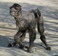 Image result for baby guanaco