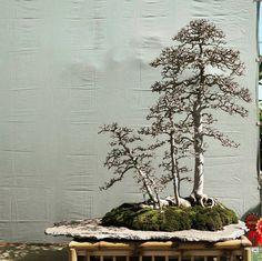 """201 Likes, 1 Comments - jualbonsai belibonsai (@indonesian_bonsai_buy_and_sold) on Instagram: """". Pengen bonsainya laku? Endoorse saja.. Cuma 35ribu kok.. Minat DM ya.. . . . #Blackscissors…"""""""