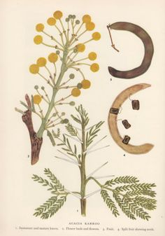 Acacia Karroo (sweet thorn) Order: Fabales Family: Fabaceae Genus: Vachellia Species: V. karroo