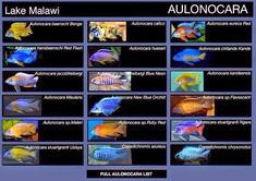 Aulonocara Maleri Cichlid Aquarium, Goldfish Aquarium, Cichlid Fish, Tropical Fish Aquarium, Fish Aquariums, Fish Ocean, Malawi Cichlids, African Cichlids, Tropical Freshwater Fish