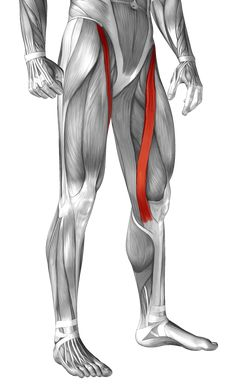 Sartorius: Learn Your Muscles