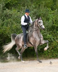 pictures of arabian english pleasure | Arabhorse.com - Rooker Training Stable - Arabian Horse
