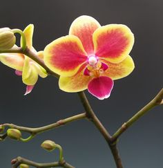...yellow-pink orchid...