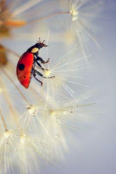 ladybug in dandelion.. by ^els^**