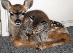 From reddit: cat naps on a fawn