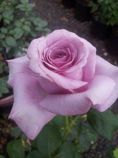 'Neptune' | Hybrid Tea rose (=)