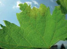 Petele untdelemnii sunt primele semne de infecție, care anunță atacul de mană Salvia, Plant Leaves, Solar, Terrariums, Horsehair, Insects, Farm Gate, Plant, Sage
