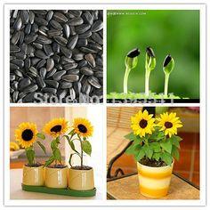 40 mini sunflower seeds Dwarf sunflower seeds by FlowerStoriesWay