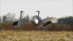 """Dancing Red-crowned Cranes"" by E S"