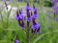 blue vervain (Verbena hastata var. scabra) - Blooming in July on the shore of Snelling Lake - Photo by Kirk Nelson - http://minnesotaseasons.com/Plants/blue_vervain_(scabra).html