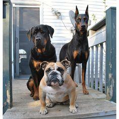 Bulldog, Rottie & Doberman ~ You mess with one...