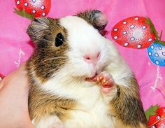 http://images5.fanpop.com/image/photos/25200000/Balbinka-the-Guinea-Pig-guinea-pigs-25200819-631-491.jpg