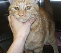 lizardmarsh: Nacogdoches TX: Urgent Orange Tabby! Rescue/Adopt ...