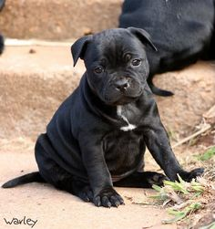 Staffy puppy omfg what a fatty LOVE Staffy Bull Terrier, Staffy Dog, Staffordshire Bull Terrier, Cute Small Animals, Animals And Pets, Baby Dogs, Dogs And Puppies, Fluffy Puppies, Cute Little Puppies