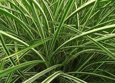 Ribbon Grass. 10 No Effort Plants