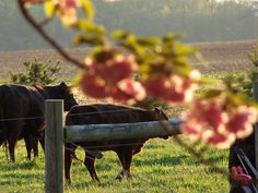 Brook and Brandon Wedding at the Crow Farm, Eastern Shore of Maryland. Black Angus and Cherry Blossoms