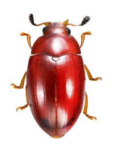 Mycotretus pygmaeus
